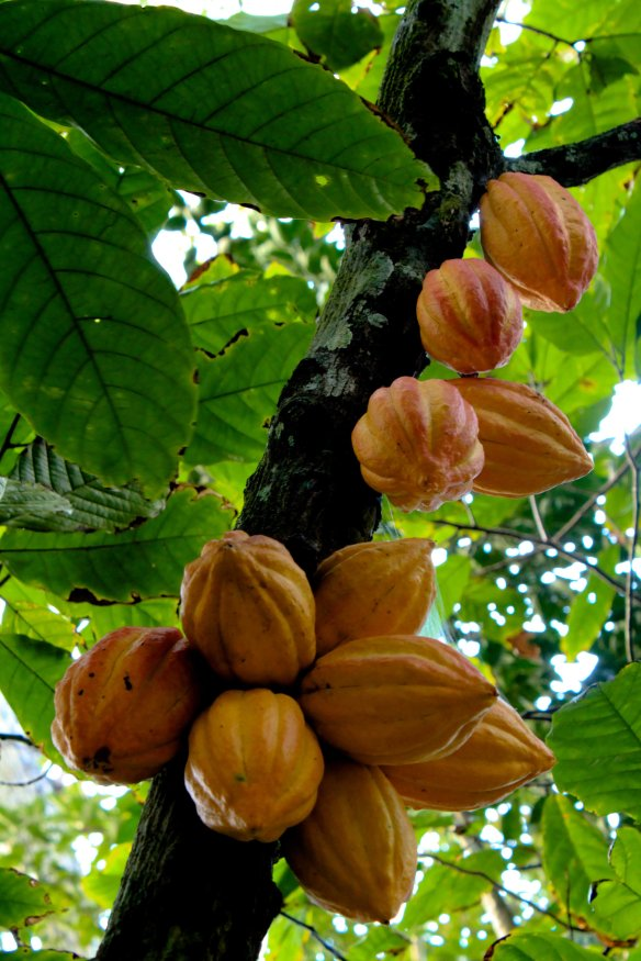 Cacao pods  (Source: Wikipedia user Luisovalles (Own work))